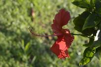 花朵硕大的扶桑