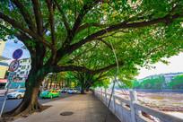 惠州西湖边的大树