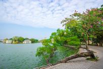 惠州西湖边的一棵树