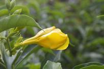 即将开花的软枝黄婵