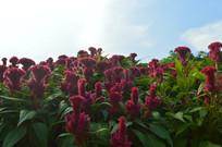 蓝天下的鸡冠花
