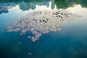 水中的荷叶和城市倒影