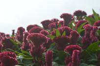 争奇斗艳的鸡冠子花
