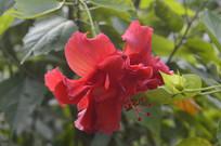 重瓣扶桑花朵