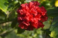 重瓣朱槿花