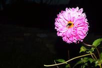 雏菊上的蜜蜂