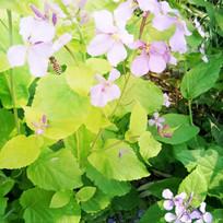 绿叶紫色花朵
