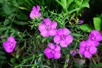野生植物花卉:石竹