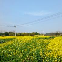 油菜花风景