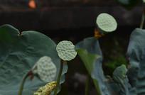 莲蓬莲子图片