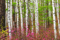 花海白桦林