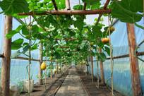 塑料大棚种植瓜果