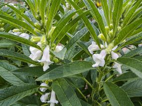 白色芝麻花