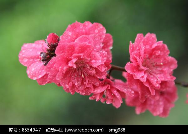 并蒂的桃花花朵图片