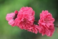 并蒂的桃花花朵