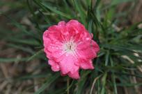 草丛中的桃花花朵
