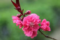 大大红色的红桃花