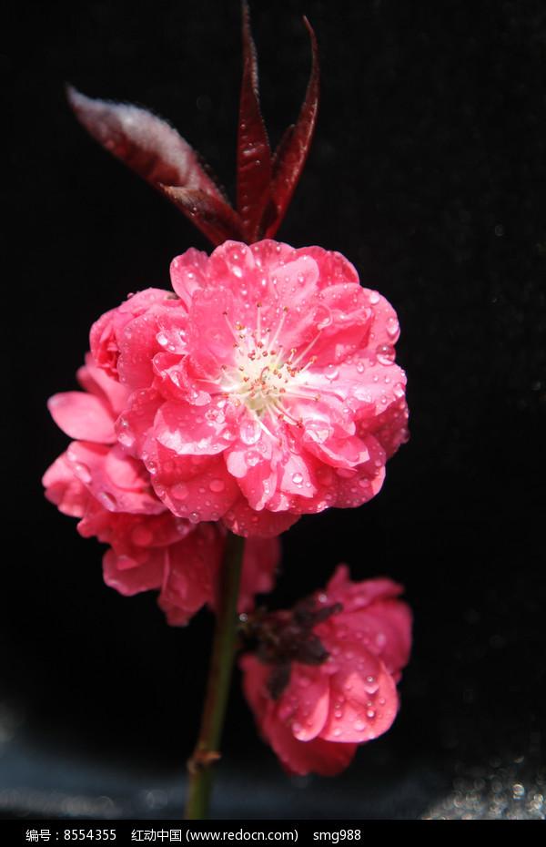 大红的桃花花朵图片