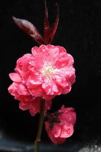 大红的桃花花朵