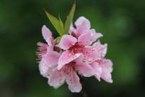 粉粉红的桃花花串