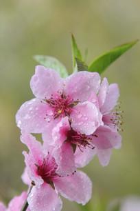 粉粉红桃花花朵