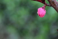 粉红的桃花花苞