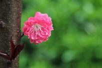 粉红的桃花花朵