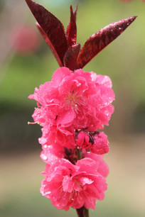 粉红色的桃花花串