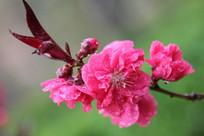 粉红色的桃花花枝