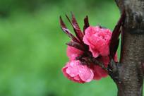 粉红色的桃花树干上花朵