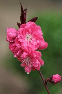 粉红色桃花花枝