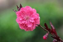 粉红绽放的桃花花朵