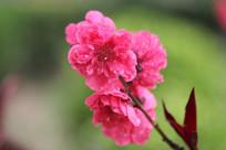 粉色的桃花花串花枝