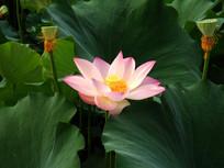 荷塘盛开的一朵莲