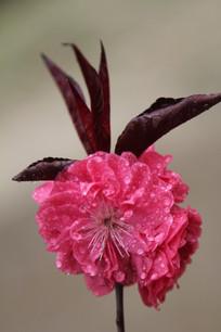 红红色的桃花花朵