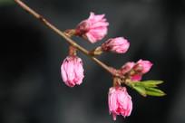 红色桃桃花花苞