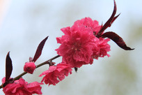 蓝天下的桃花花枝