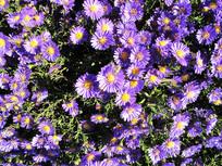 蓝紫色的荷兰菊