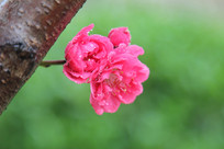 绿色背景下的桃花花朵