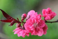 绿树背景的桃花花花朵