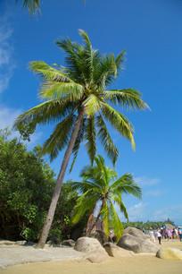 晴天的海南椰树