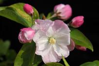 盛开的粉白桃花花朵