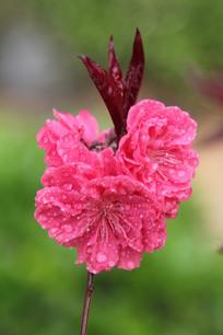 盛开的桃花花串