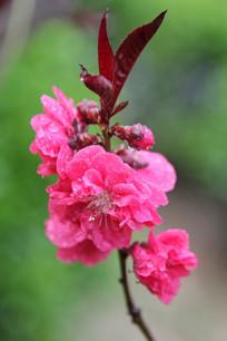 盛开的桃花花朵