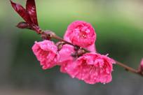 盛盛开的桃花花枝