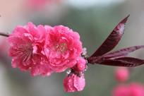 树枝上的桃花花朵
