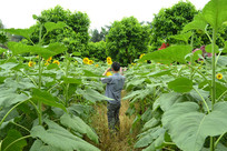 游客在葵园里拍摄向日葵