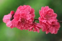 雨中并并蒂的桃花花朵