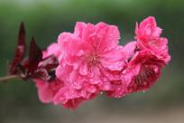 雨中大红的桃花花串