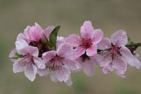 雨中粉红的樱花花朵